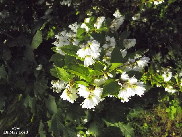 Strauch-Blüten