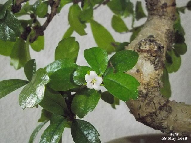 Bonsai-Topf-Blüte